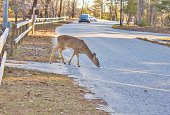 Deer in the road as oncoming traffic approaches.