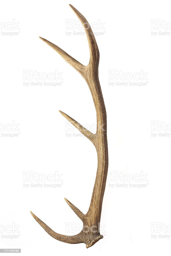 Deer antler stock photo