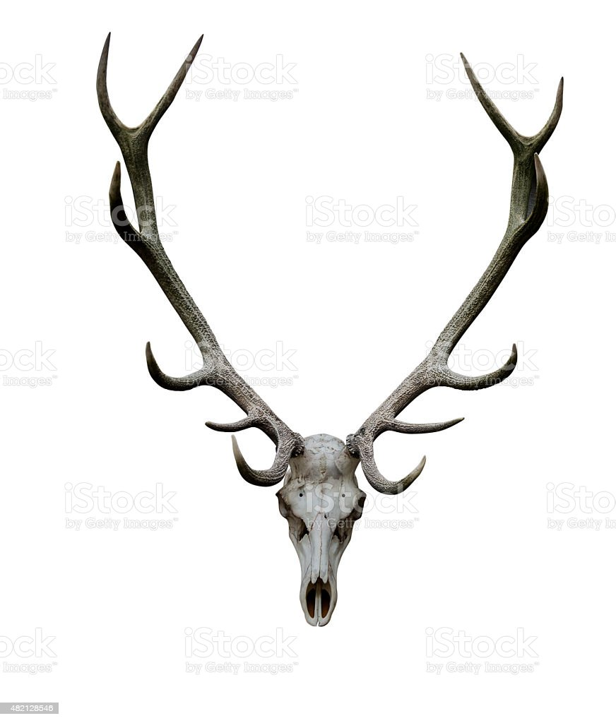 Deer antlers isolated white path animal skull XXL stock photo