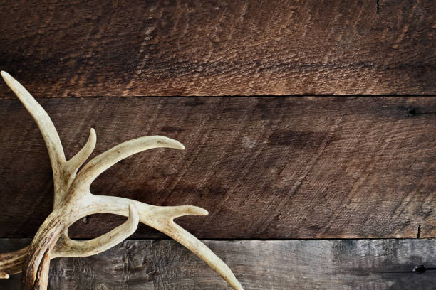 Deer Antlers A pair of real white tail deer antlers over a rustic wooden background. They are used by hunters when hunting to rattle in other large bucks. Free space for text. antler stock pictures, royalty-free photos & images
