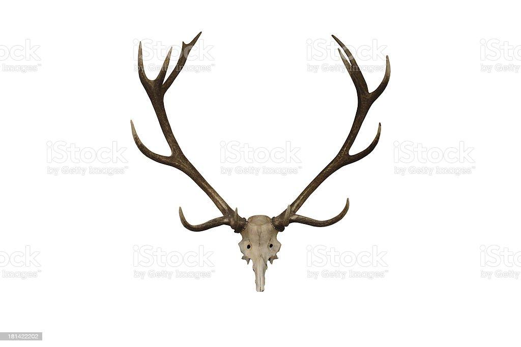 Deer Antlers. royalty-free stock photo