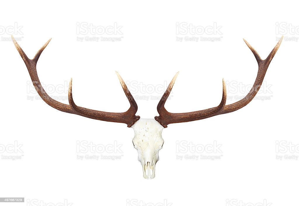 Deer antlers. stock photo