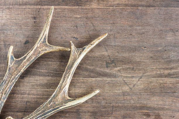 deer antlers - antlers stock photos and pictures