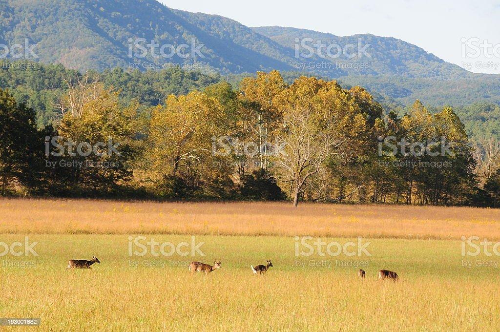 Deer at Cades Cove, Smoky Mountain National Park royalty-free stock photo