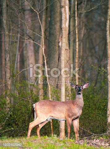 Deer at edge of the forest eating new green leaves