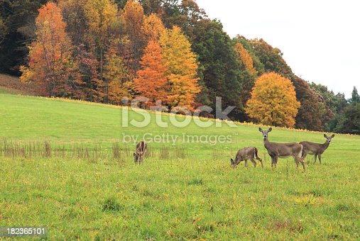 Autumn scene with White-Tail Deer.