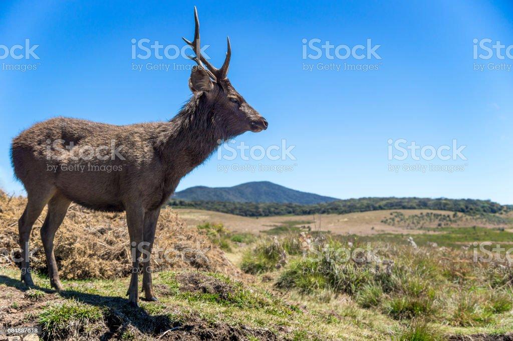Deer at Hortons Plain National Park, Sri Lanka stock photo