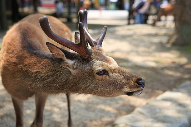 Deer at Miyajima, Hiroshima Prefecture, Japan Deer at Miyajima, Hiroshima Prefecture, Japan miyajima stock pictures, royalty-free photos & images