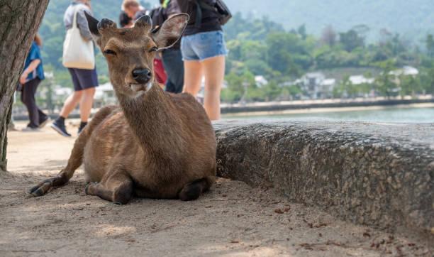 Deer at Miyajima island laying down with blurred tourist in background. Deer at Miyajima island laying down with blurred tourist in background, Hiroshima Prefecture, Japan miyajima stock pictures, royalty-free photos & images