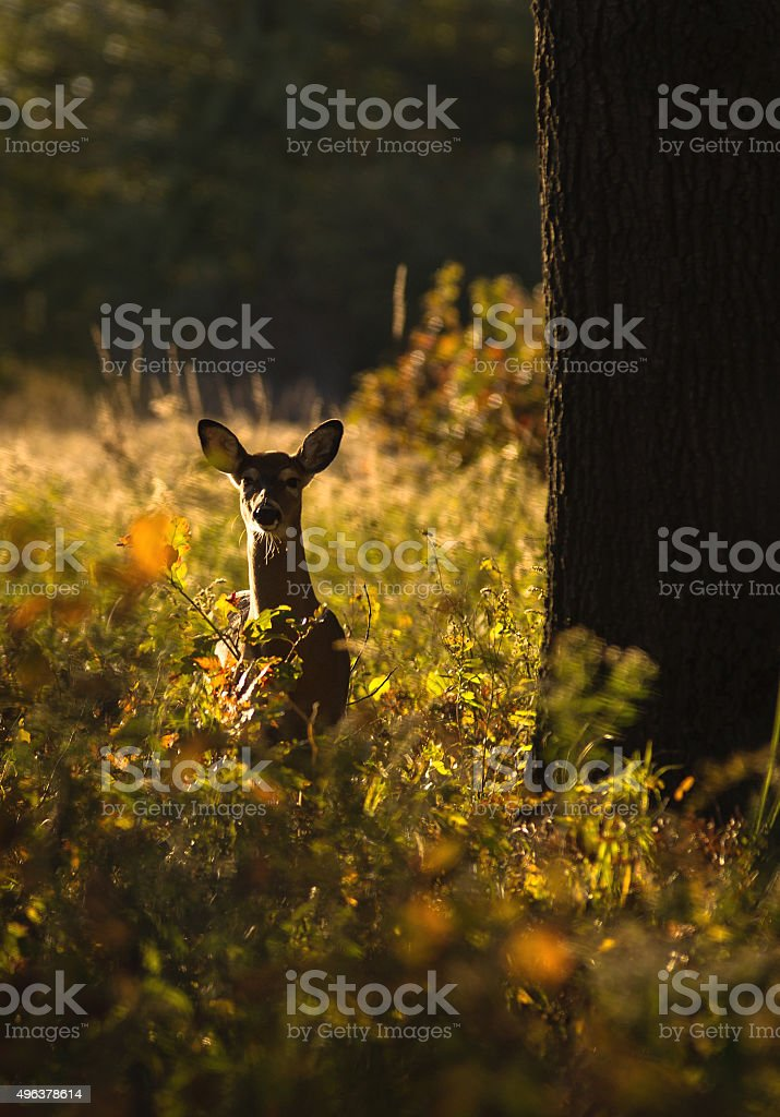 Deer At Ojibway stock photo