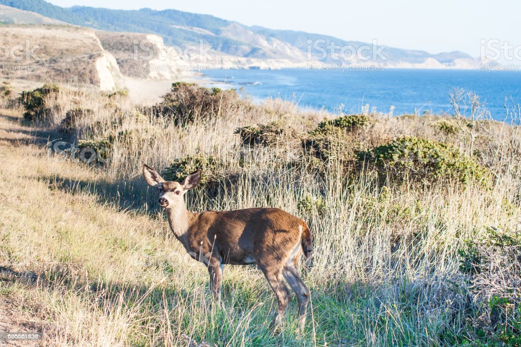 A Deer at Point Reyes National Seashore royalty-free stock photo