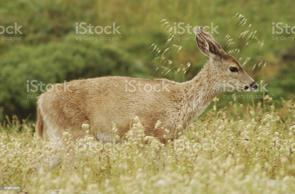 Deer at Point Reyes National Seashore stock photo