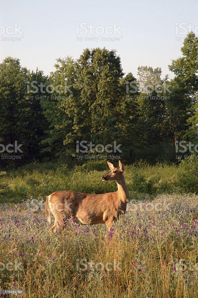 Deer at Sunrise stock photo