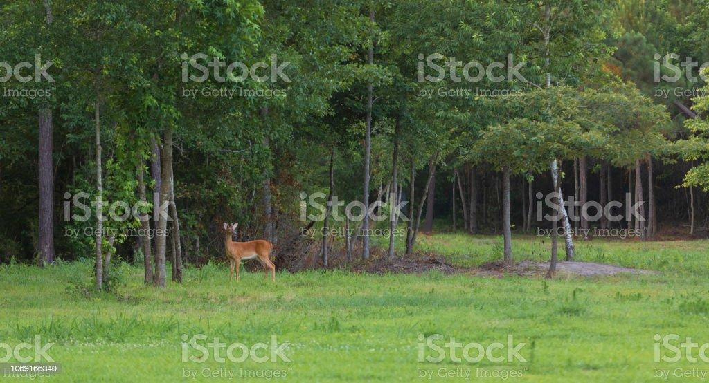 Hirsche am Waldrand außerhalb Raeford North Carolina – Foto