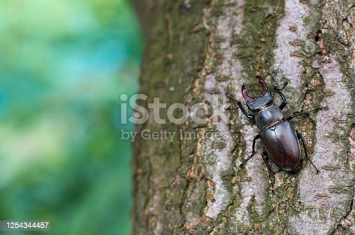 deer beetle on a tree trunk with bark in the garden in summer