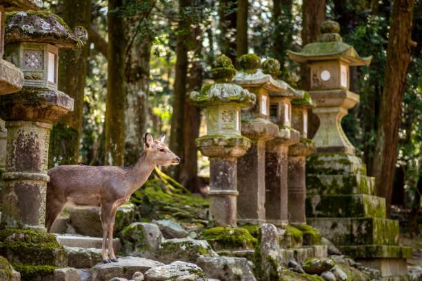 Deer between lanterns in Nara Park, Japan stock photo