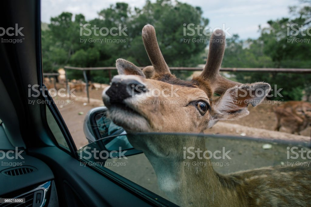 Deer by the car in Fasano zoo safari apulia Italy royalty-free stock photo