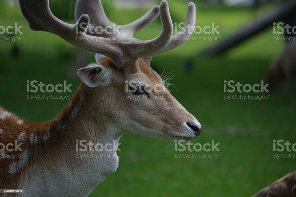 Deer close-up stock photo