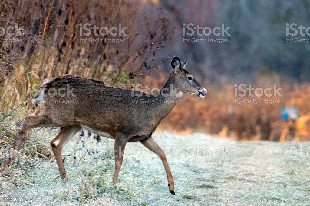 Deer crosses a path stock photo