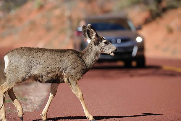 Deer Crossing a Road stock photo