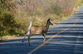 paved road with lines and deer running across road