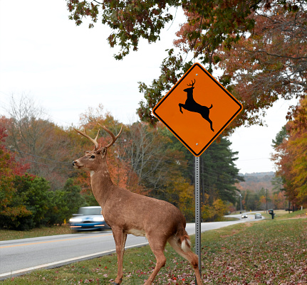 A white tailed buck about to cross the highway.