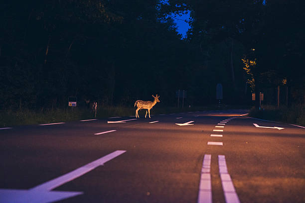 deer crossing the road at dawn - reh stock-fotos und bilder