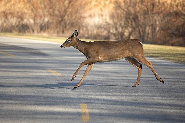 Deer crossing two-lane road in mid-stride with brush behind stock photo