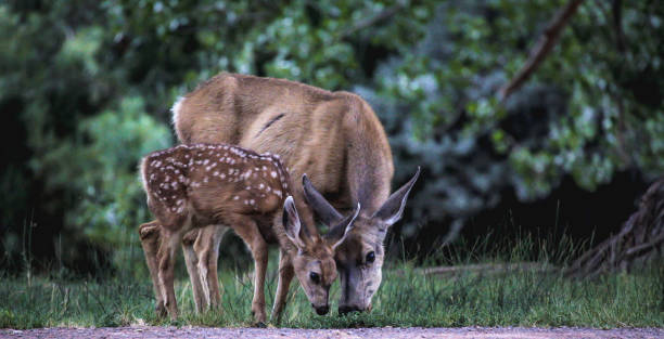 Deer doe and deer fawn tenderness in nature. stock photo