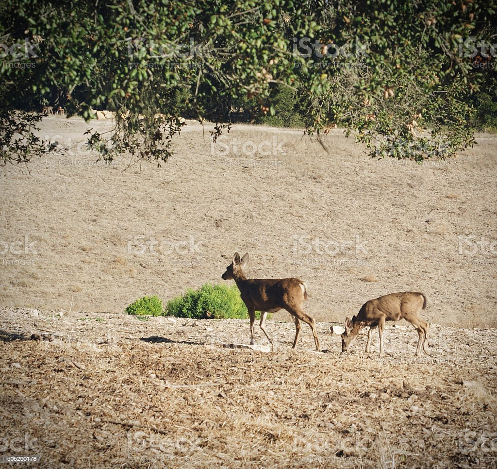 Deer During Drought stock photo