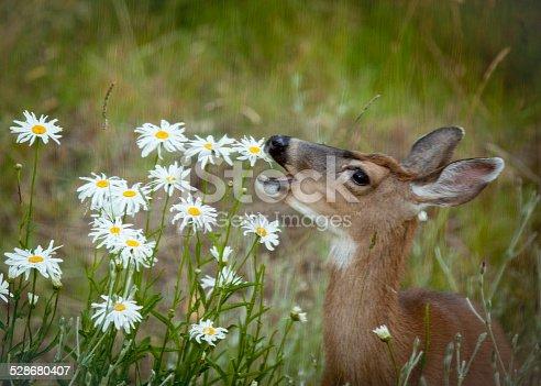 A deer eats daisy flowers.
