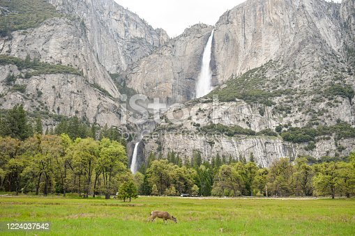 A deer eating grass in Yosemite Alley, Yosemite waterfall at the background