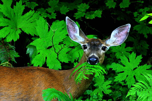 Deer Eating Greens Deer found eating leaves at the bottom of Sol Duc Falls, Washington  herbivorous stock pictures, royalty-free photos & images