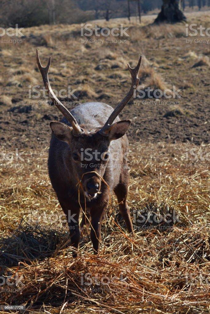Deer eating hay royalty-free stock photo