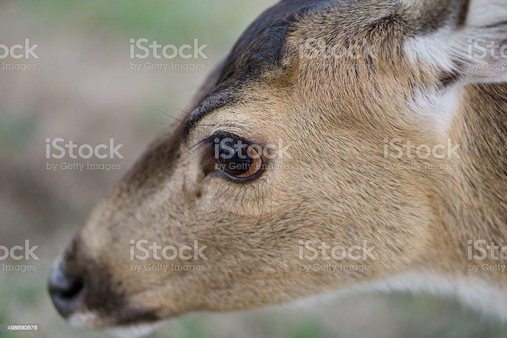 Deer eye Ojo de ciervo stock photo