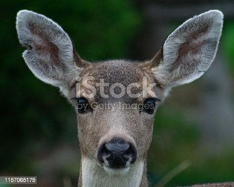 Deer staring straight into camera with dark black eyes and perky ears