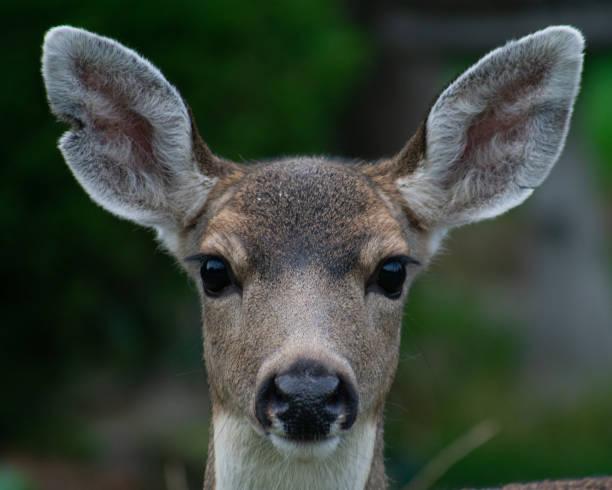 herten gezicht portret - antilope stockfoto's en -beelden