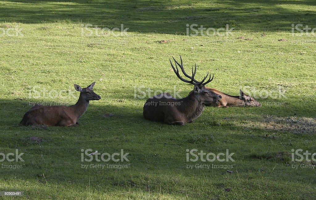 deer family #2 royalty-free stock photo