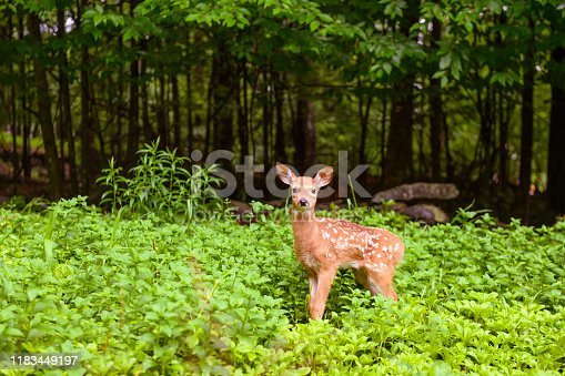 This is a color photograph of a fawn in the Catskill mountains of upstate New York, USA in summer.