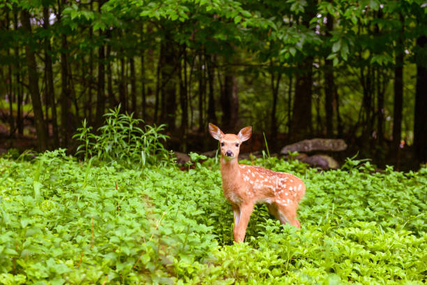 Deer Fawn in the Forest of the Catskill Mountains in New York State USA This is a color photograph of a fawn in the Catskill mountains of upstate New York, USA in summer. catskill mountains stock pictures, royalty-free photos & images