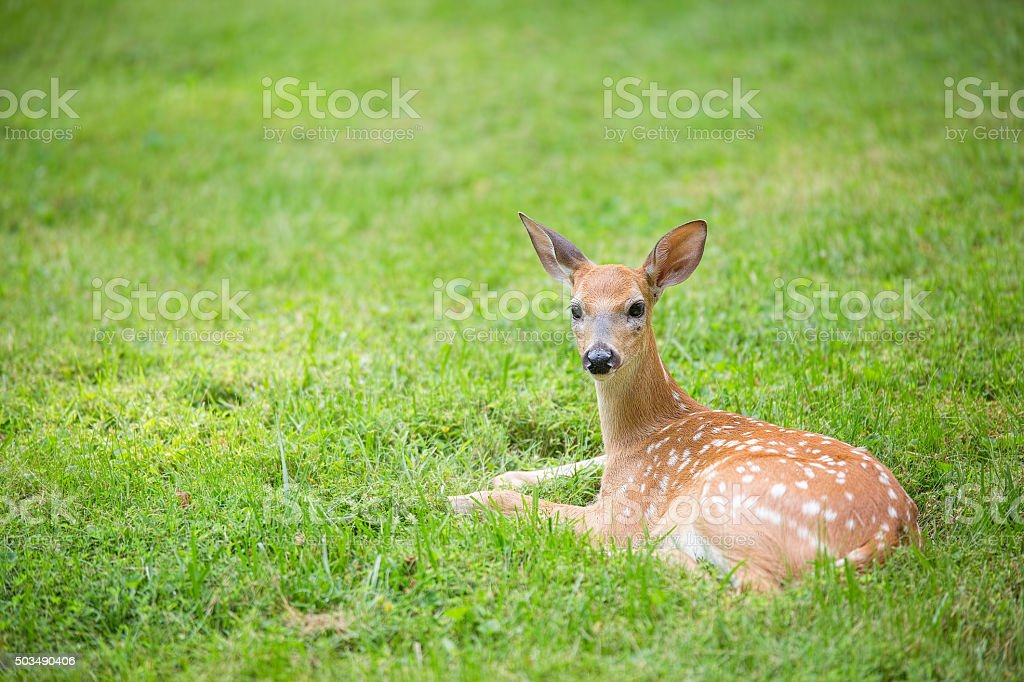Deer fawn lying in a grassy field royalty-free stock photo