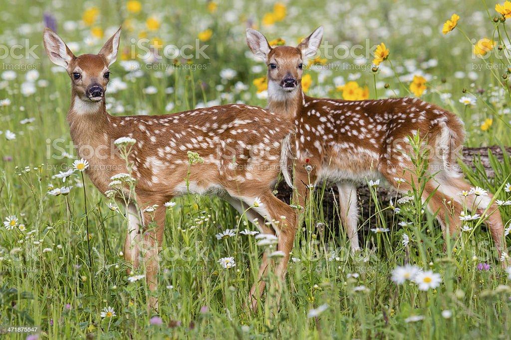 Deer Fawn stock photo