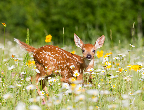 White Tailed Deer Fawn in Meadow