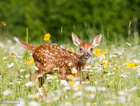 istock Deer Fawn 472096009