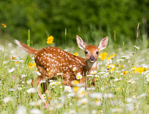 Deer Fawn stock photo