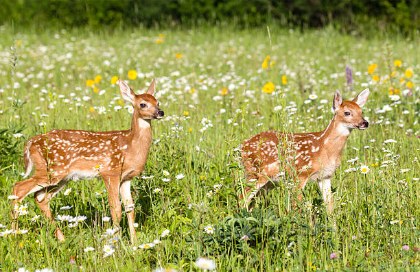 deer fawns - faon photos et images de collection