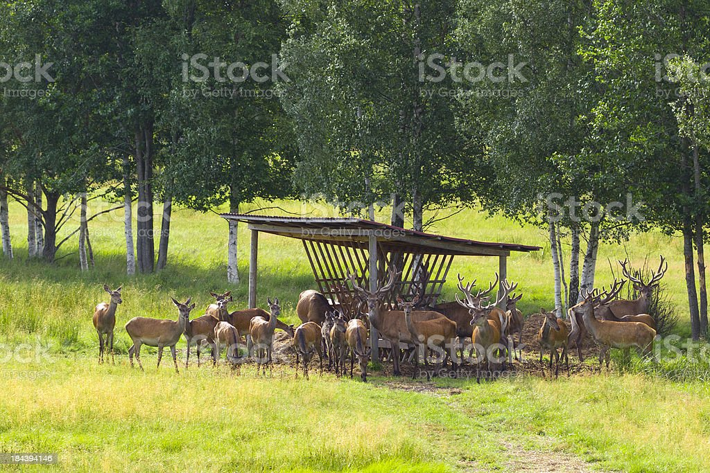 Deer feeder stock photo