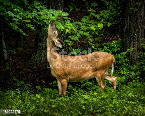 A healthy doe feeds in a lull between afternoon spring rainstorms.