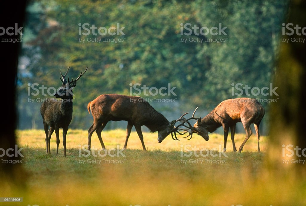 deer fighting royalty-free stock photo