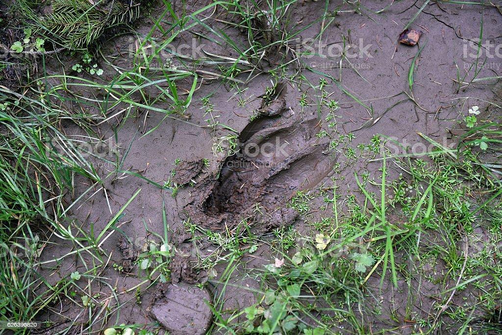 Deer footprint in the mud stock photo
